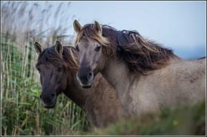 Konik Ponies ay Oare Marsh Nature Reserve.